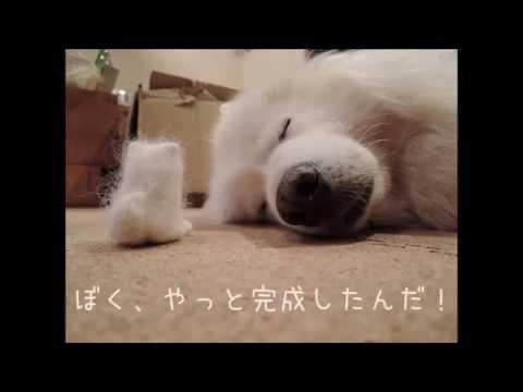 サモエド クローカ 「ちびクロバイバイ♪」 (samoyed kloka)
