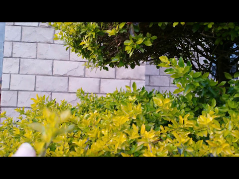 Duranta  Golden  Hedge  Care And Propagation