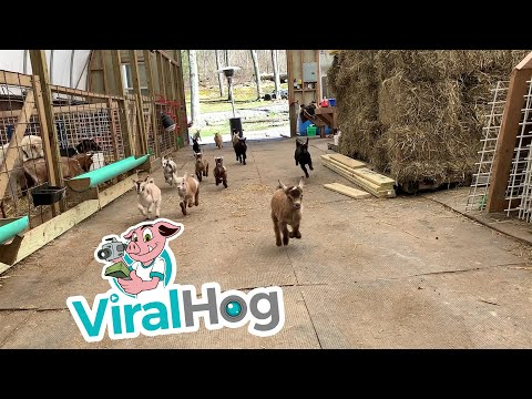 Savio On Air - Eye Bleach -Baby Goat Stampede for your Monday!