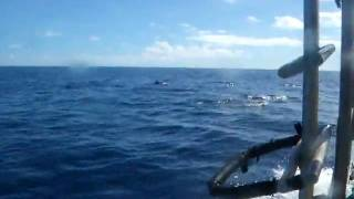 ヤップ島イルカの群れに遭遇 ヤップ島 検索動画 19
