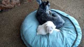 'ruthie' Mini Schnauzer Puppy Playing With Mom, Dad And Auntie