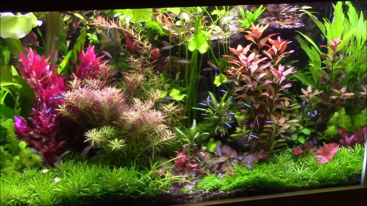 plante aquatique rouge facile