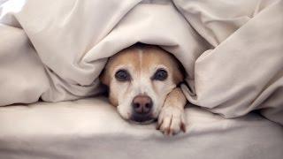 Собака ложиться спать,накрывшись одеялом)(Собака спит под одеялом.Приколы ютуба!Подписывайтесь на мой канал!https://www.youtube.com/channel/UCWuK_oWOfRtZrbMOP1wkcLA Все самые..., 2016-01-02T18:35:34.000Z)