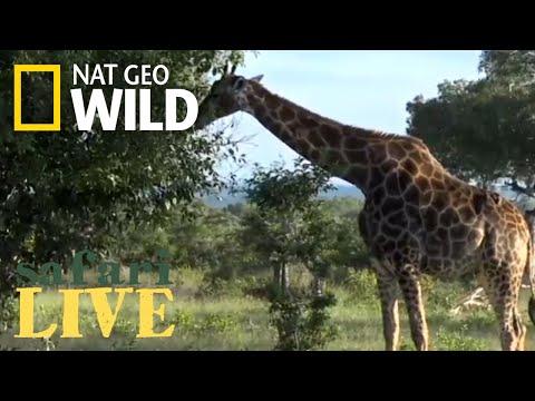 Safari Live - Day 138   Nat Geo Wild