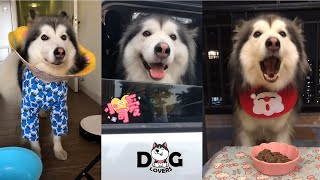 Alaskan Malamute Howling | Eating | Playing Compilation 2021