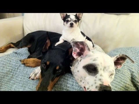 The Doberman, Pit Bull and Chihuahua Family