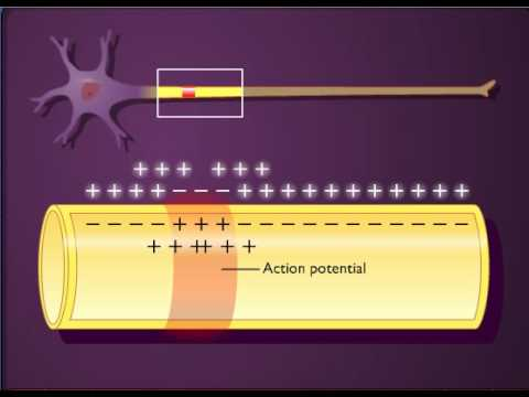 Action Potential Propagation In An Unmyelinated Axon Youtube