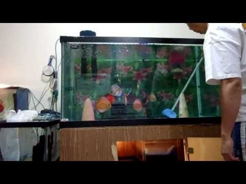 AMAZING CLEAR WATER---DISCUS NEVER SICK OR DIE-THEY ARE VERY HAPPY
