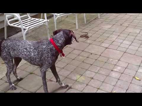 German Shorthaired Pointer And The Snake, Gwendolynn
