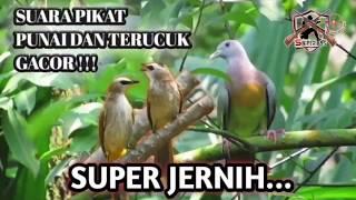 Download Mp3 Super Jernih !! Suara Pikat Punai Dan Terucuk Gacor || Sniper 89s