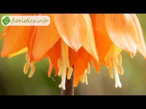 разновидность рябчиков цветы фото
