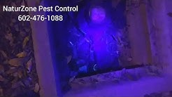 Glowing Dead and Dying Scorpions! NaturZone Pest Control Phoenix / Scottsdale Scorpion Control