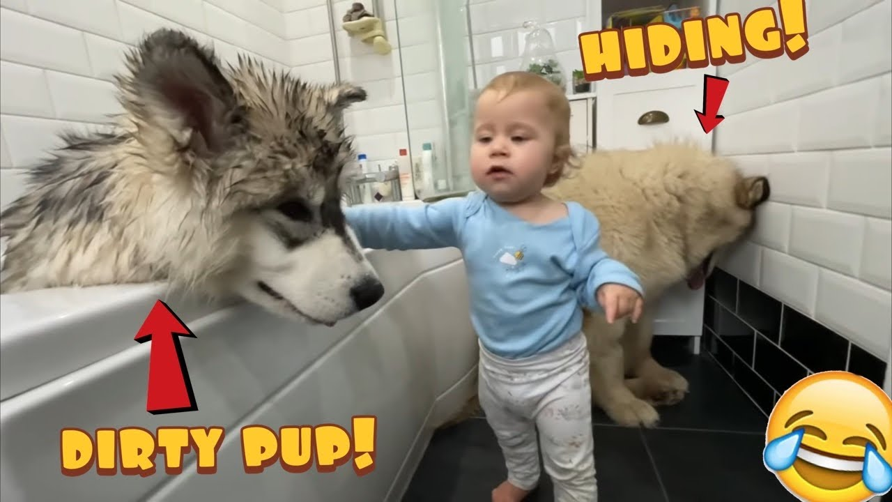 Giant Malamute Puppy Bath! Phil Hides In The Corner And Sulks!
