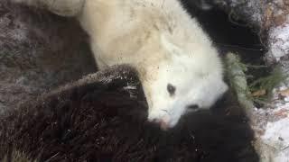 Охота на медведя с западно - сибирской лайкой