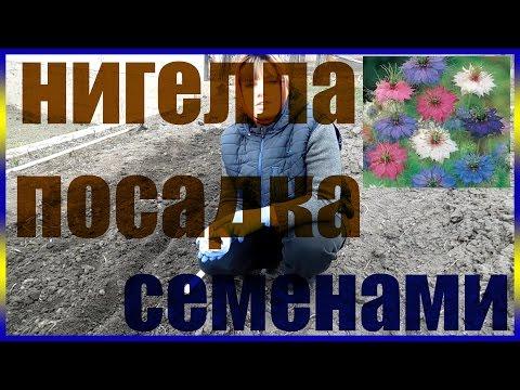 нигелла дамасская выращивание из семян нигелла как сажать огород сад розарий цветник