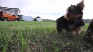 Yorkie Puppies | Snickers-archie