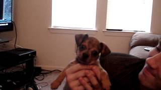 Dachshund-pug Mix Puppy Confused