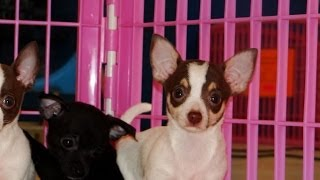 Chihuahua, Puppies, For, Sale, In, Houston, Texas, Tx, Mcallen, Mckinney, Mesquite, Plano