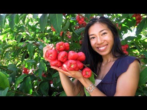Jambu Wax Apple Update! Black King Kong Variety AKA Mountain / Rose / Water / Malay Apple
