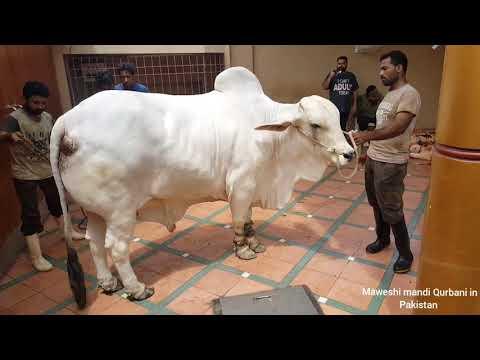 HEAVY WEIGHT COW QURBANI | BIGGEST COW QURBANI | COW QURBANI 2019