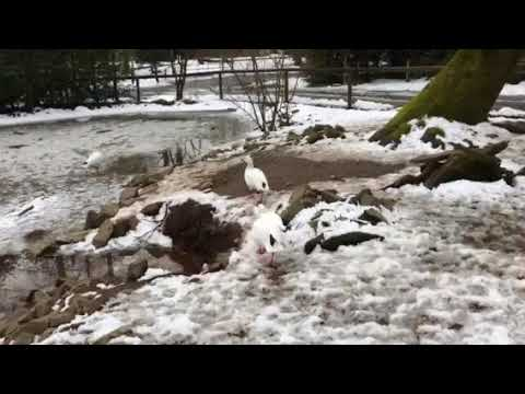 Snow geese at the Greater Vancouver zoo