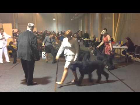 Giant schnauzer (black): Best male. Tartu International dog show 07/11/15