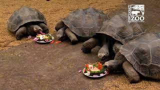 Galapagos Tortoises Turn 10 - Cincinnati Zoo