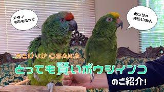 【えとぴりかOSAKA】お喋りはもちろん!芸も得意!なインコ!【ボウシインコ】
