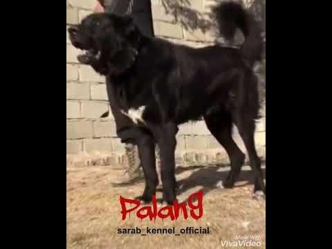 ✔️ Sarabi dog, one of the biggest breeds in the world   Iranian mastiff called Sarabi