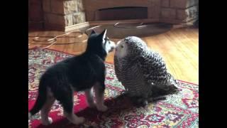 ぽっかぽかやないけ!子犬とシロフクロウのラブリーなキスシーン