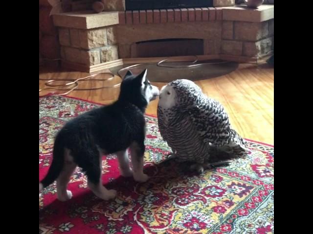 Хаски Илона и ПолЯрная Сова Нюша-это любовь однозначно(snowy owl and dog)#snowyowl #owl