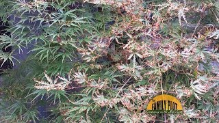 Q&A – Why does my Japanese maple have brown curled leaves?