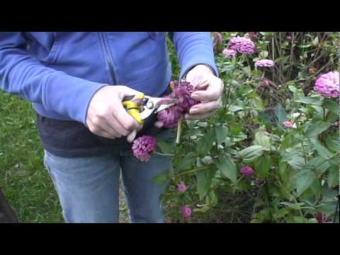Collecting Zinnia Seeds Youtube