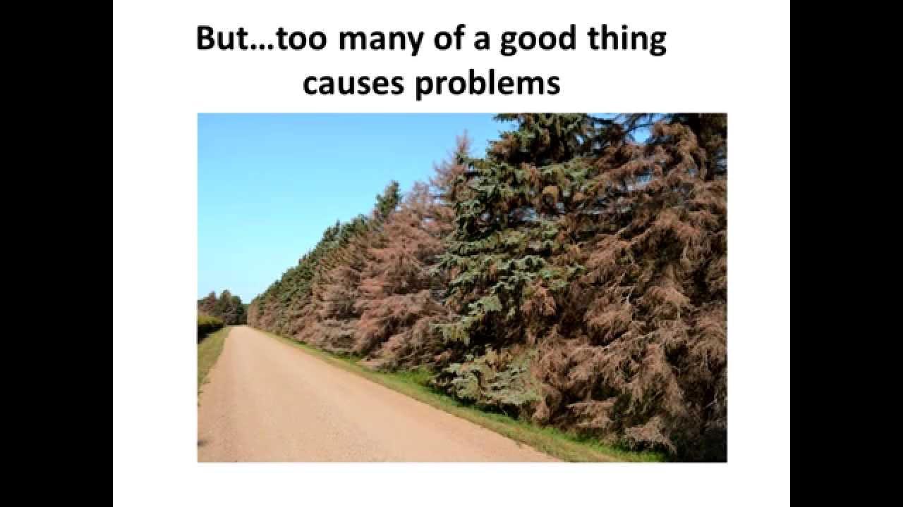 Evergreen Trees for North Dakota - YouTube