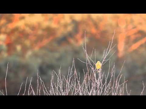 Vroege Vogels - Geelgors