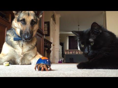 Odin, Leroy meet Hermit Crabs