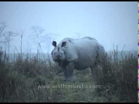 Indian rhinoceros (Rhinoceros unicornis) - Fifth largest land animal