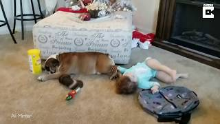 Confused Toddler Plays With Dog's Balls