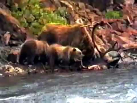 Mother grizzly bear defends her cubs from a hungry male grizzly bear