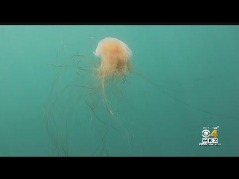 lion's-mane-jellyfish-showing-up-at-massachusetts-beaches