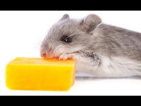 V Mouse Eating Scene Mouse eats cheese - Yo...
