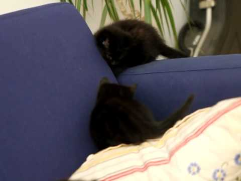Black tabby kittens playing (6 wks)
