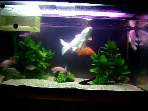 My koi tank youtube for Coy fish tank