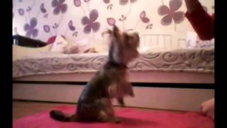 Дрессировка собак//йоркширский терьер// команды ползи и кувырок