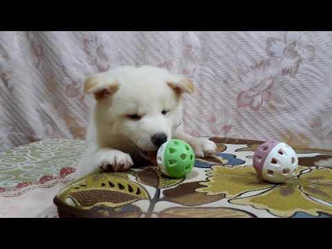 PuppyFinder.com : white shiba snowy