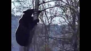 Un ours curieux à la poursuite d'un homme moins empressé