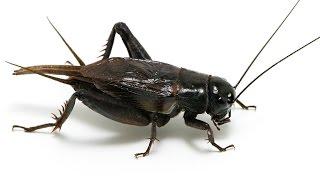 귀뚜라미 울음소리 (cricket crying)