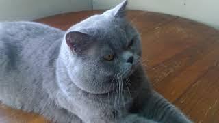 Кот Кекс приглашает кошек на вязку