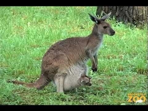 Kangaroo Kids (Joeys) at Brookfield Zoo