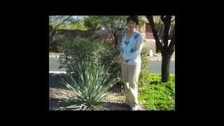 Tucson Gardening Desert Spoon video.wmv